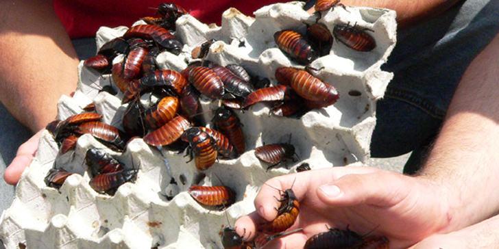 cockroaches pet