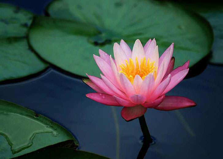 lotus flower mud